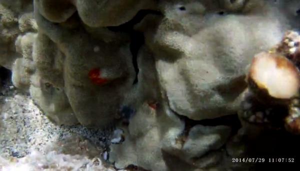 coralpolyp